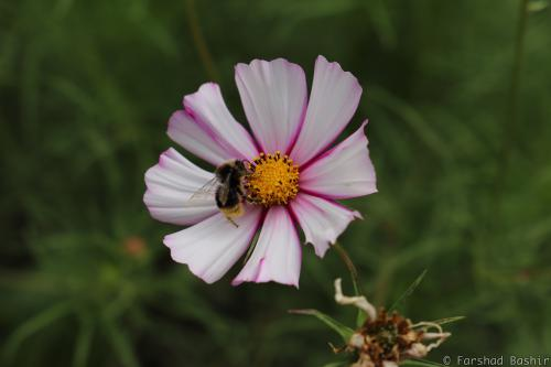 Bee sitting on a Cosmos bipinnatus Candy Stripe