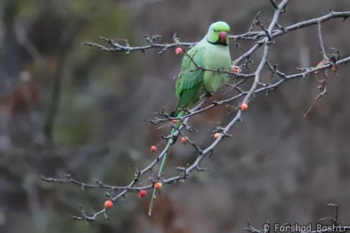Rose-ringed parakeet eating berries
