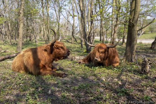 Highland cattles relaxing in The Hague