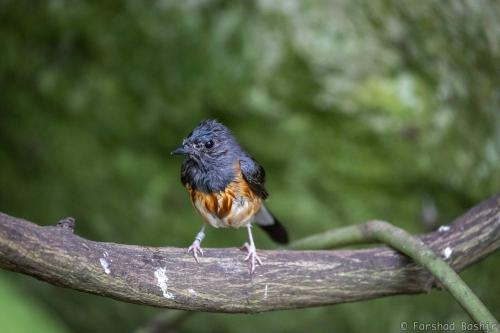 The white-rumped shama is sitting