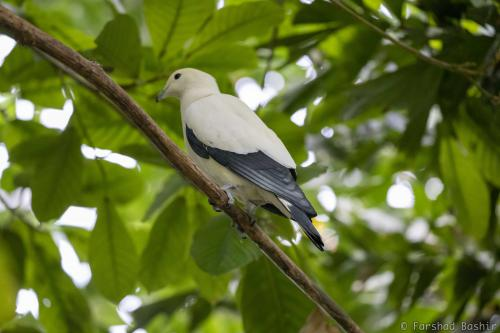 The relatively large pied imperial pigeon