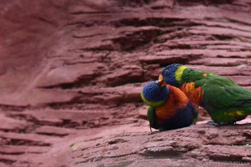 Rainbow lorikeets kissing